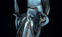 These First-Ever Photos of a Giant Squid are Incredible